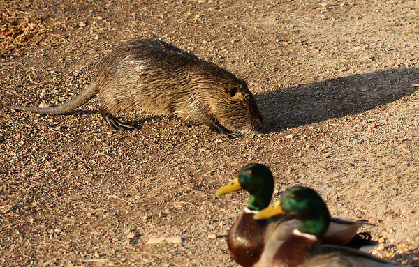 An adult nutria (a.k.a. coypu; Myocaster coypus) walking by two mallard drakes (2009_04_10_014780)