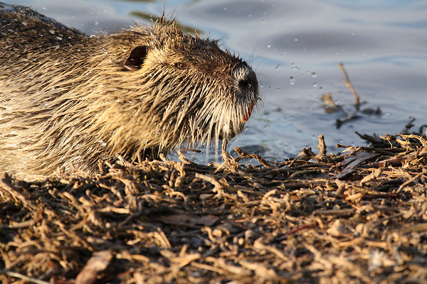 A nutria (a.k.a. coypu; Myocaster coypus) shaking off excess water after coming ashore (2009_04_10_014777)