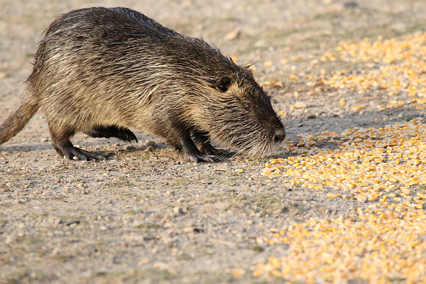 A nutria (a.k.a. coypu; Myocaster coypus) walking up a meal of dried corn (2009_04_10_014752)