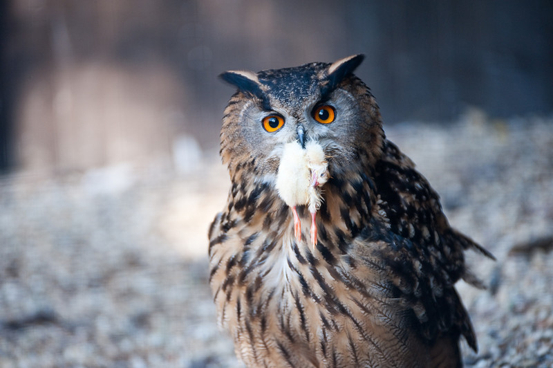 Owl with chick