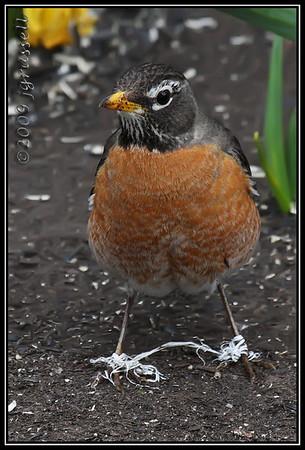 Entangled robin