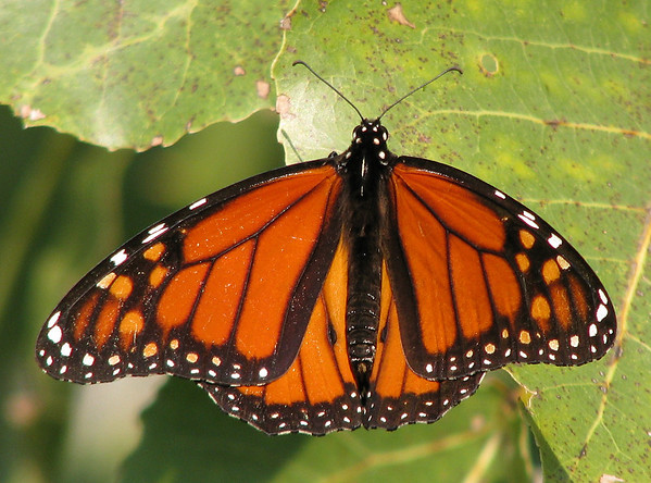 A male monarch butterfly (Danaus plexippus) resting on a plant leaf (20081004_13160)