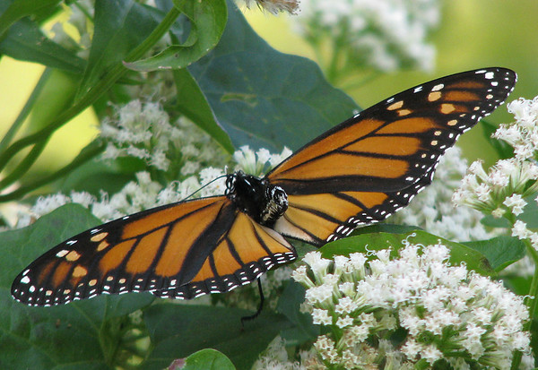 A female monarch butterfly (Danaus plexippus) perched on flowers (20081004_13189)