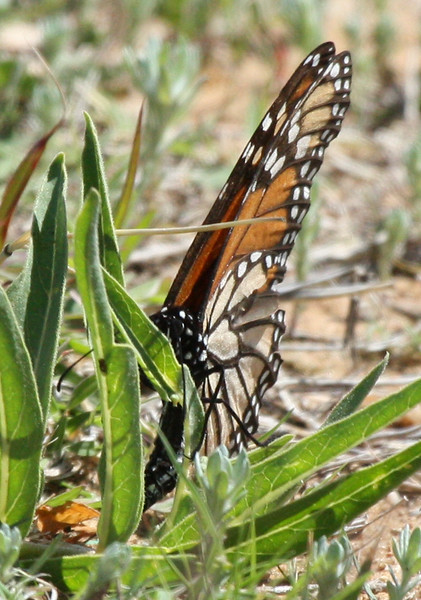A female monarch butterfly (Danaus plexippus) laying eggs on young milkweed (2009_04_11_014946)