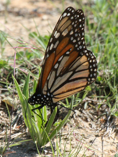 A female monarch butterfly (Danaus plexippus) laying eggs on milkweed (2009_04_11_014953)