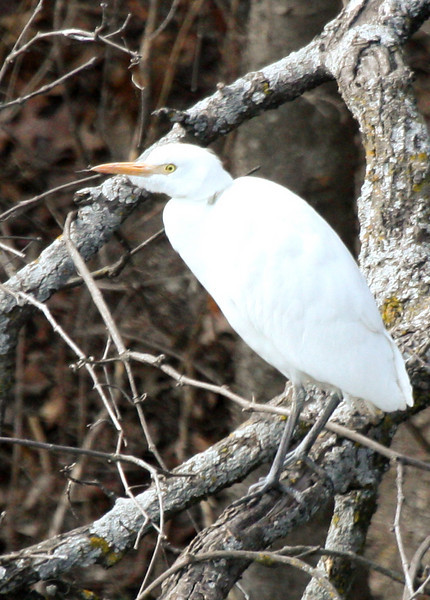 A cattle egret (Bubulcus ibis) perched in winter trees (2009_02_14_009307)
