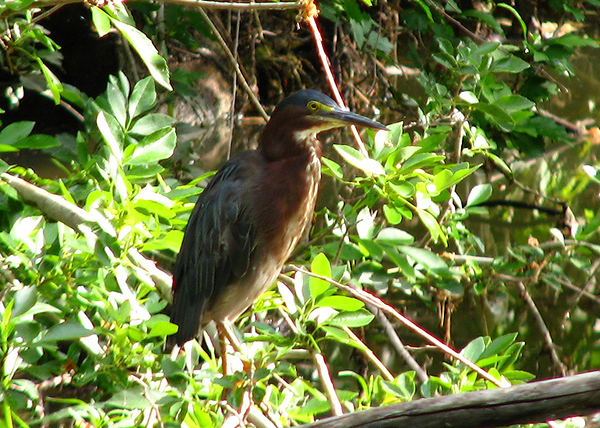 A green heron (Butorides virescens) standing in verdant spring foliage (20080629_08323_n)