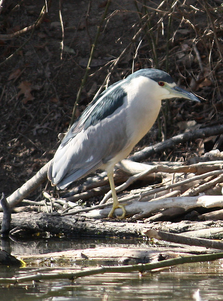 A black-crowned night-heron (Nycticorax nycticorax) perched on fallen limbs (2009_02_03_006217)