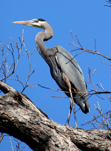 A great blue heron (Ardea herodias) standing in the treetops (2008_12_28_003901)