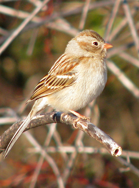 A field sparrow (Spizella pusilla) atop a withered reed at the lake's edge (20080202_01669)