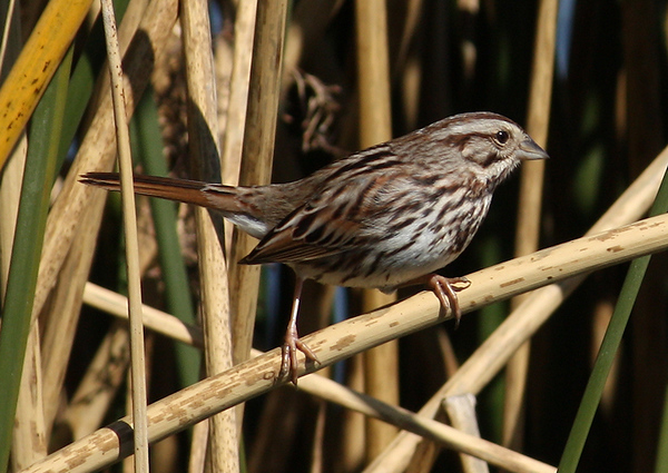 A song sparrow (Melospiza melodia) perched on a reed (2009_02_03_006429)