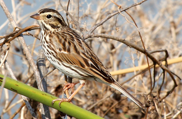 A Savannah sparrow (Passerculus sandwichensis) perching in lakeside brush (2009_03_21_013285)