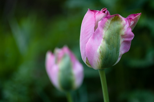 pretty in pink, tulips