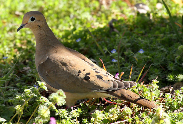 A Mourning dove (a.k.a. rain dove; Zenaida macroura) standing in shade and sunlight (2009_03_08_012847)