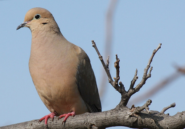 A mourning dove (a.k.a. rain dove; Zenaida macroura) perched on a limb (2009_03_21_013264)