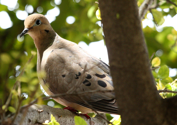 A mourning dove (a.k.a. rain dove; Zenaida macroura) perched in a tree (2009_04_15_015171)