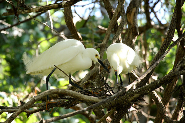 Two snowy egrets (Egretta thula) building a nest (2009_04_19_015774)