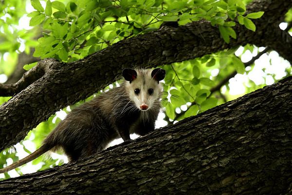 A Virginia opossum (a.k.a. possum; Didelphis virginiana) looking down from within a tree (2009_04_19_016229)