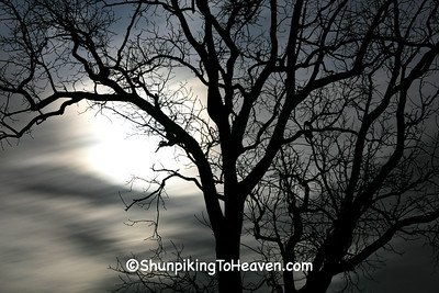 Tree Silhouette in the Moonlight, Full Moon, Columbia County, Wisconsin