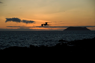 Galapagos, North Seymour Island, Great Frigate at sunset