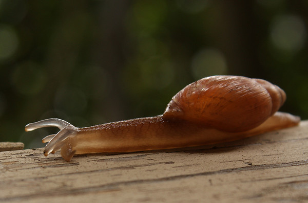 A rosy wolfsnail (a.k.a. cannibal snail; Euglandina rosea) crawling along my patio fence (2009_05_03_017155)