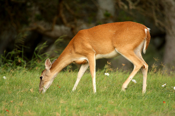 A white-tailed deer (Odocoileus virginianus) grazing (2009_05_16_018618)