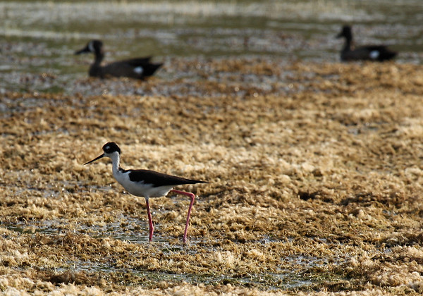 A black-necked stilt (Himantopus mexicanus) marching along the drying edges of a slough as two blue-winged teal (Anas discors) drakes rest in the background (2009_05_16_018681)