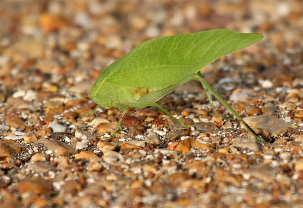 A lone greater angle-wing katydid (a.k.a. broad-winged katydid; Microcentrum rhombifolium) resting on a roadway (2009_05_16_018652)