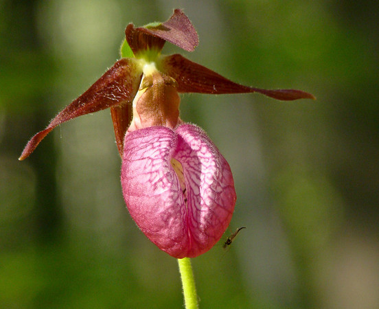 Warm as Flesh: Lady Slipper and Mosquito