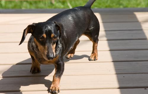 Bailey, the crazy dachshund