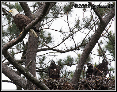 Female bald eagle and eaglets