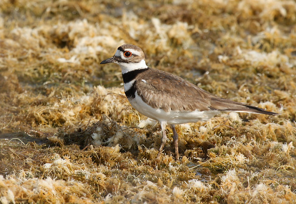 A killdeer (Charadrius vociferus) standing on exposed aquatic vegetation (2009_05_16_018783)