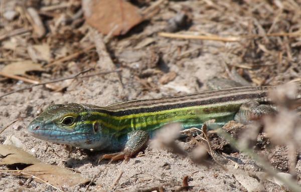 A prairie racerunner (a.k.a. prairie six-lined racerunner; Cnemidophorus sexlineatus viridis) standing on sandy soil (2009_05_16_018812)