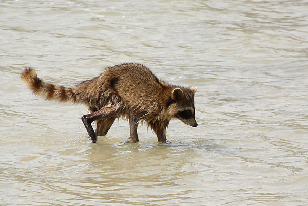 A Common raccoon (a.k.a. northern raccoon, washer bear, or coon; Procyon lotor) walking in the surf at the Texas coast (2009_05_16_018826)