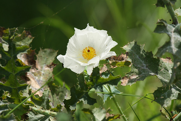 A white prickly poppy (a.k.a. bluestem pricklypoppy; Argemone albiflora) flower (2009_05_16_018935)