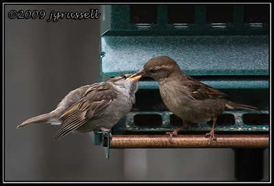 House sparrow: Feed me, Mom!