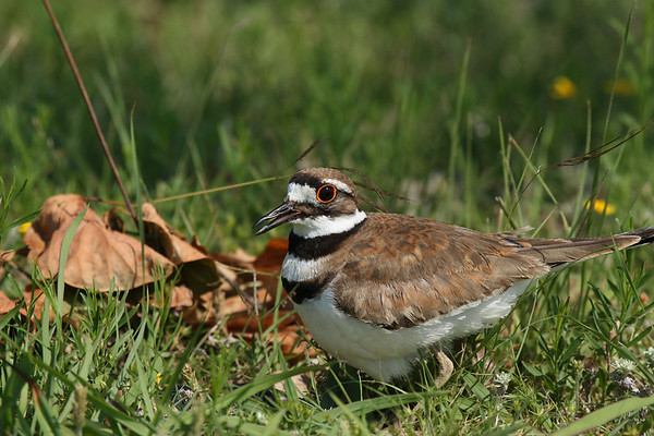 A killdeer (Charadrius vociferus) protecting its nest (2009_05_31_021124)