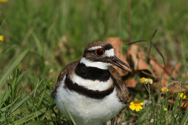 A killdeer (Charadrius vociferus) protecting its nest (2009_05_31_021144)