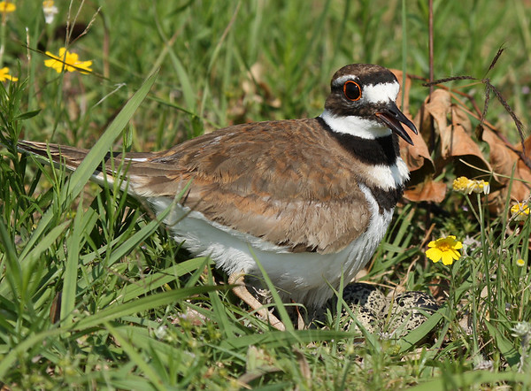 A killdeer (Charadrius vociferus) standing over its eggs (2009_05_31_021158)