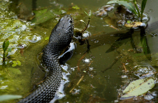 Plainbelly water snake (a.k.a. plain-bellied water snake; Nerodia erythrogaster) resting on the surface of a creek (2009_06_06_022291)