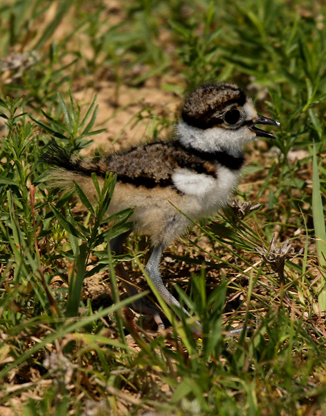 Killdeer (Charadrius vociferus) chick standing in grass (2009_06_05_022175)