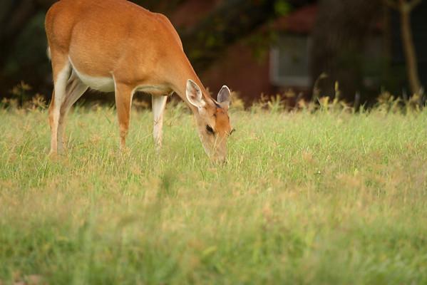 Pregnant white-tailed deer (Odocoileus virginianus) grazing (2009_05_16_018596)