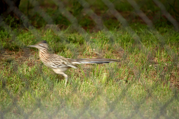 A greater roadrunner (Geococcyx californianus) running along a chain-link fence (2009_05_22_020835)