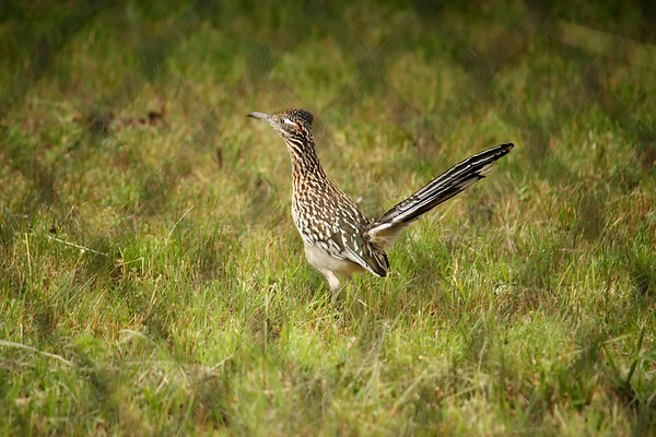 A greater roadrunner (Geococcyx californianus) standing inside a fenced area (2009_05_22_020837)