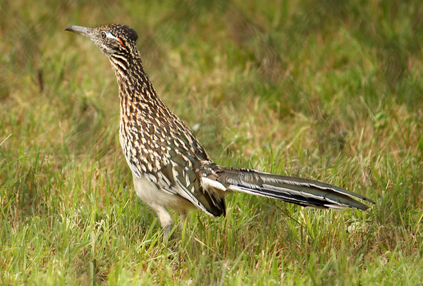 A greater roadrunner (Geococcyx californianus) standing inside a fenced area (2009_05_22_020839)