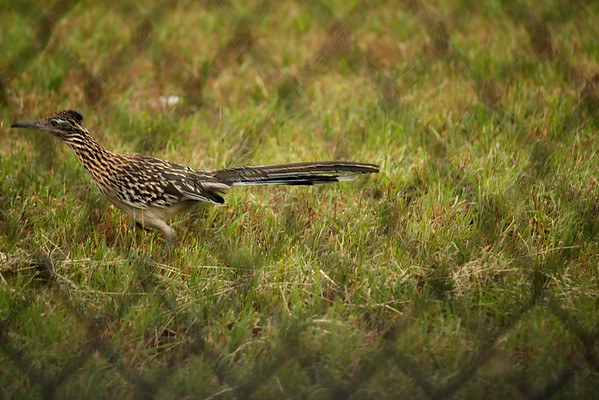 A greater roadrunner (Geococcyx californianus) running along a chain-link fence (2009_05_22_020843)