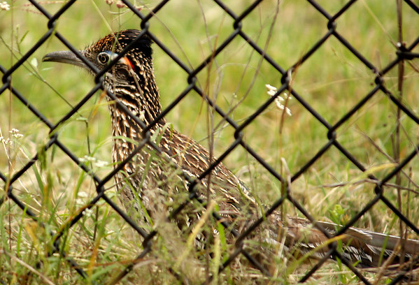 A greater roadrunner (Geococcyx californianus) standing beside a chain-link fence (2009_05_22_020848)