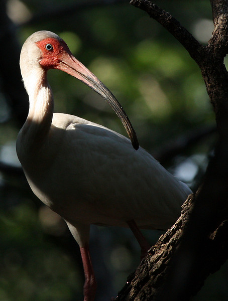 A white ibis (Eudocimus albus) perched in a tree (2009_06_13_023014)