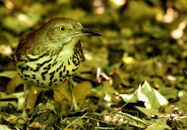 A brown thrasher (Toxostoma rufum) lurking in the understory (2009_05_17_019865)