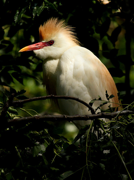 A cattle egret (Bubulcus ibis) in the treetops (2009_06_20_023922)